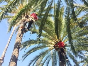 Poda de palmeras en altura.