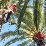 Juventud organiza un curso de poda de palmeras en altura
