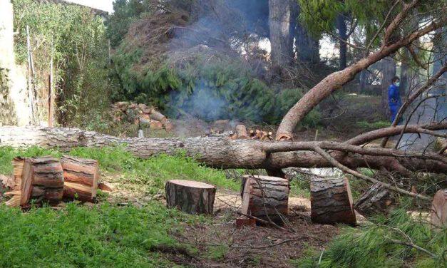 Arboricidio