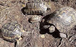 Archivan el expediente por contrabando de tortugas contra Juan Clavero