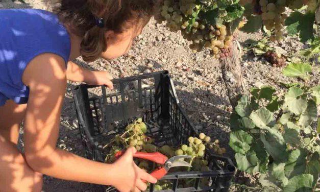 Agotadas en media hora las plazas ofertadas por Turismo para vendimiar en familia en una casa de viñas