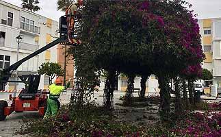 El PSOE insta a la poda de árboles y palmeras por seguridad