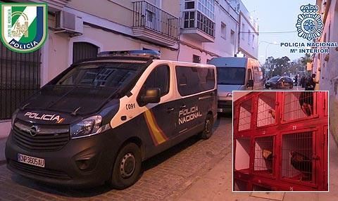 Intervienen en El Puerto una pelea de gallos con 200 participantes