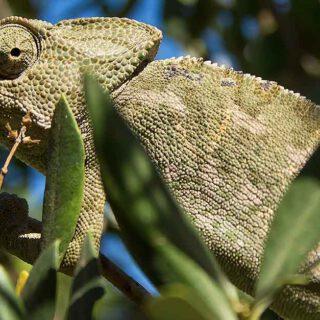 Ecologistas en Acción denuncia que no se ha ejecutado el plan del camaleón en Rancho Linares